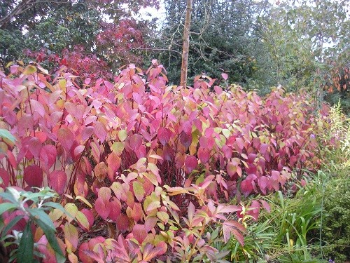 Cornus autumn tints
