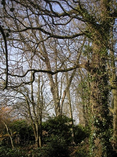 Damaged oak tree