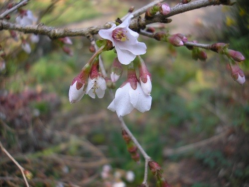 Prunus Kojo no mai