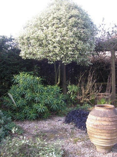 Pittosporum Irene Patterson with lower branches removed to make way for the Euphorbia underneath.