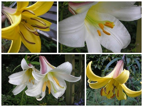 Regale and trumpet lilies