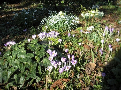 Snowdrops and crocus in January
