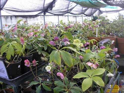 National collection of Hellebores.