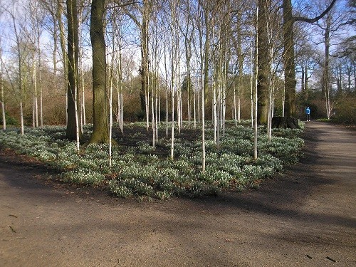All of a sudden we spotted lots of silver birches with their underplanting of snowdrops!