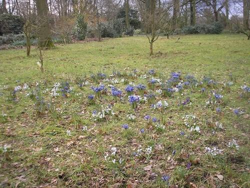 Scillas and Iris reticulata planted in the grass.