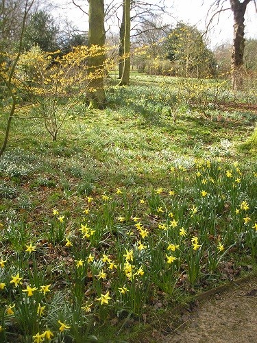 More witch hazels with narcissus.