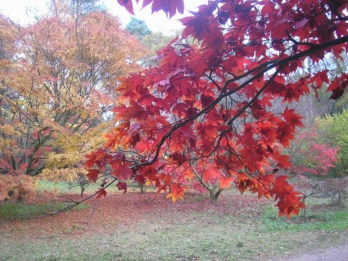 Osakazuki leaves