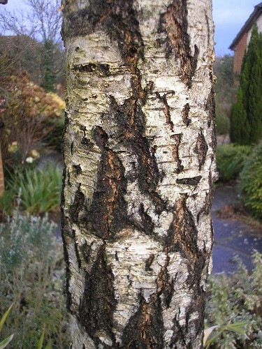 Silver birch seedling