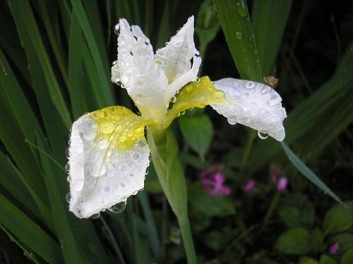 Iris sibirica, white