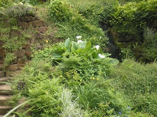 Zantedesia aethiopica