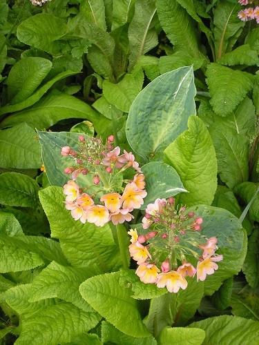 Candelabra primula seedlings