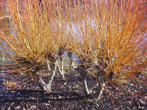 Salix Yelverton