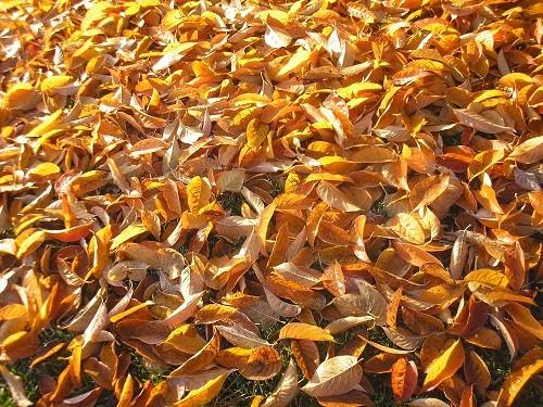 Foliage of Nyssa sinensis