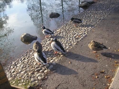 Sleepy ducks
