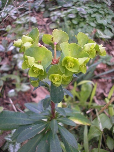 Euphorbia robbiae on the south facing bank of the ditch.