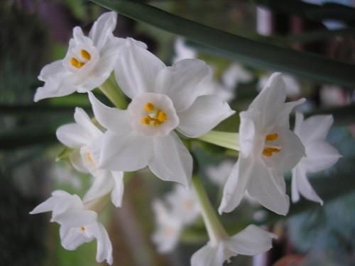 Paperwhite Narcissus.