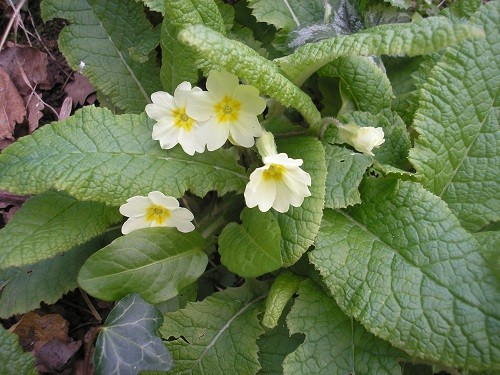 In a few areas, the wild primrose carpets the woodland floor.