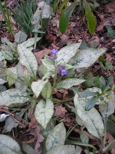 Pulmonaria with almost all silver leaves.