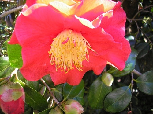 Camellia at Haldon Grange