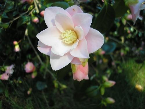 Haldon Grange camellia