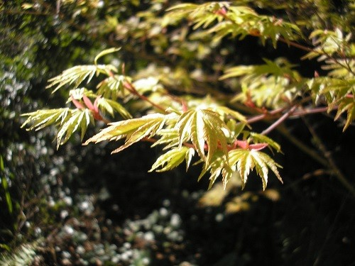 New foliage on Acer Sango Kaku in the woodland.
