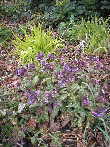 Pulmonaria and Milleum