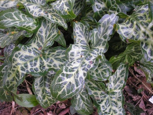 Foliage of Arum italicum marmoratum, an old favourite which will continue until the summer.