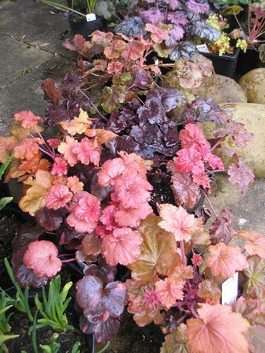 Some of you may remember me having a dream about planting heucheras, at last I ordered them and am now about to plant them.