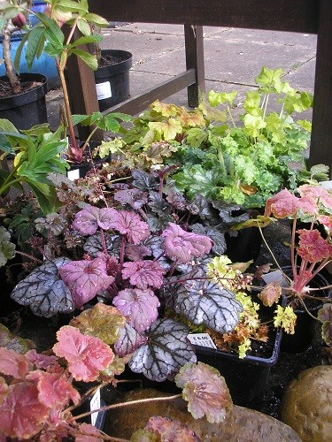 And a few more heucheras.