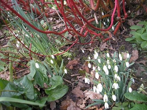 Snowdrops and Cornus.