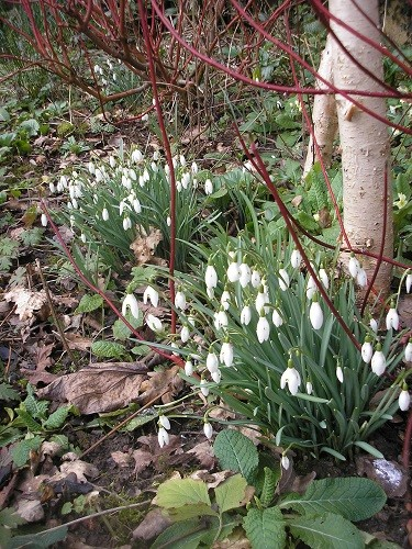 Betula ermanii with snowdrops.