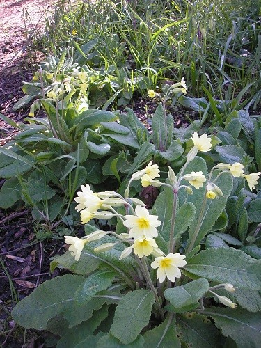 False oxlips, where primroses have crossed with cowslips.