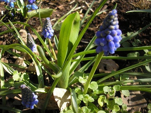 They are joined by Muscari.