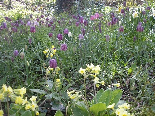 Fritillaries and cowslips