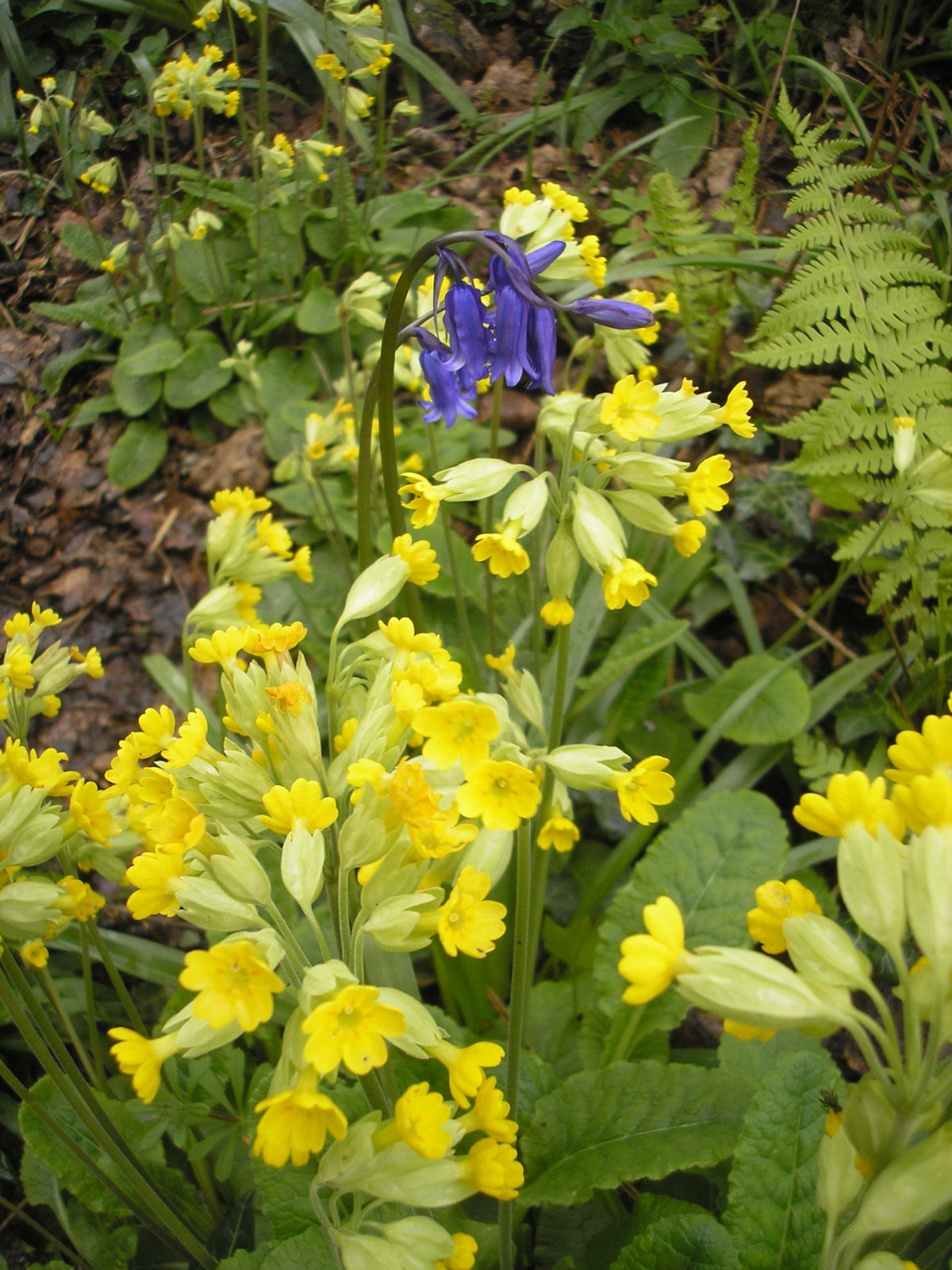 Cowslips and bluebells.