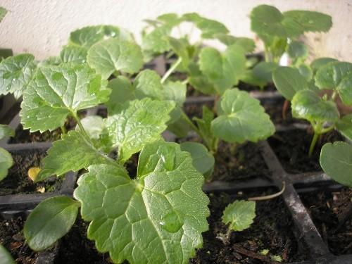 Honesty seedlings