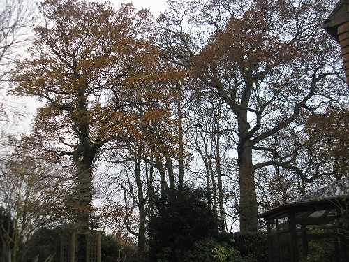 Oaks and their leaves