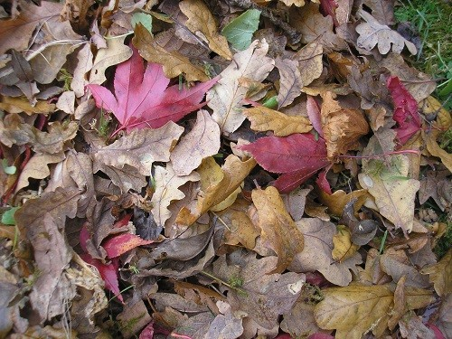 Oak and Osakazuki leaves