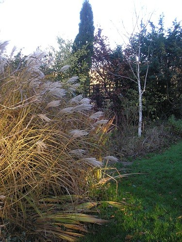 Miscanthus sinensis Silver Feather