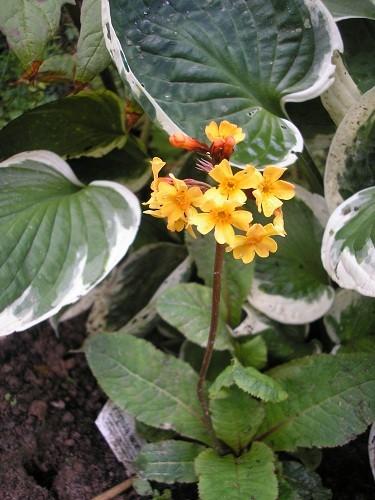 P. aurantiaca