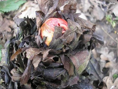 Rheum palmatum